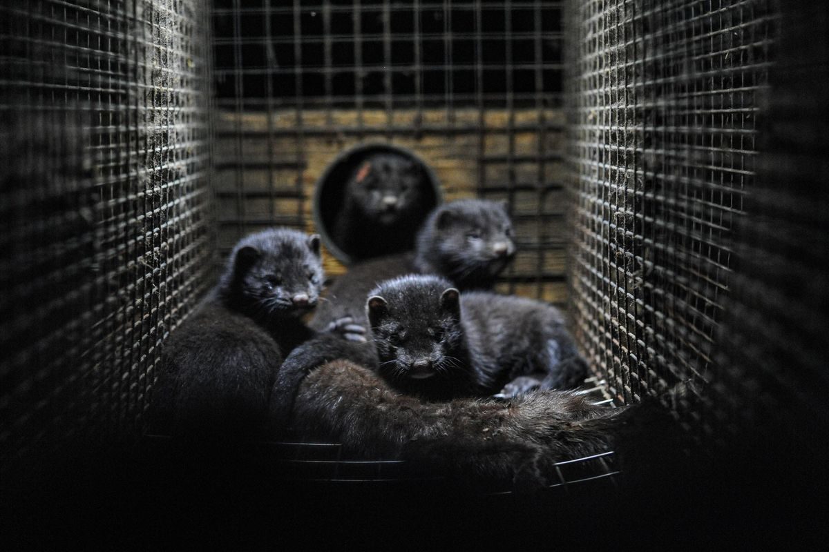 Mink caged at a Swedish fur farm