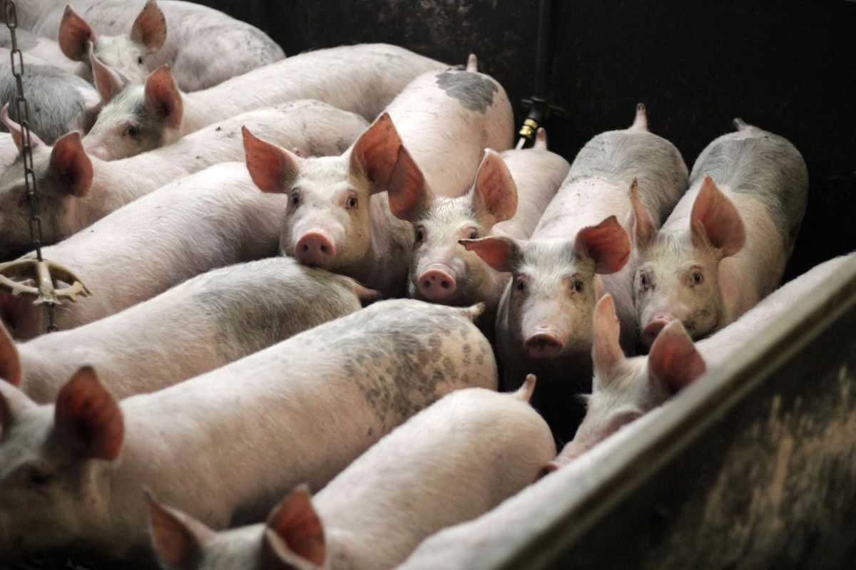 Why antibiotics being used on healthy farm animals is an issue for humans